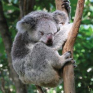 https://www.cortassa.it/wp-content/uploads/2020/11/koala.jpg