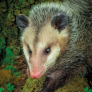 https://www.cortassa.it/wp-content/uploads/2020/11/opossum.jpg